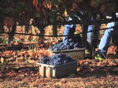 @Benziger Winery 2012 Harvest Video, Sonoma Valley