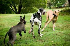 Great Dane trio