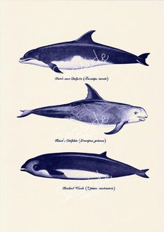 whales and dolphins n2 sea life print by seasideprints
