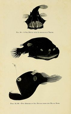 Fig 58 - A sea devil with luminescent teeth  Fig 59, 60 Two species of sea devils from the black zone by BioDivLibrary on Flickr.  The Arcturus adventure :.New York :Putnam,1926..biodiversitylibrary.org/page/4686817