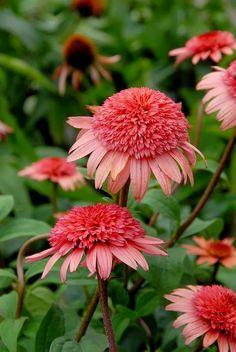 Raspberry Cone Flower