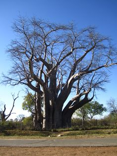 Beautiful baobab tree in Zimbabwe.