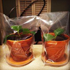 Better Gardener: Propagating Hydrangeas