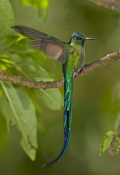 Beautiful Hummingbird w/ long tail feathers