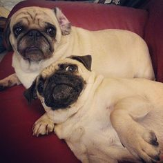 """""""What are you doing with that phone??… No! Don't take a photo of us snuggling!"""" (SR) puggi wuggi, thing pug, pug life, pug obsess, pug stuff"""