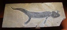 . Branchiosaurus salamandroides.