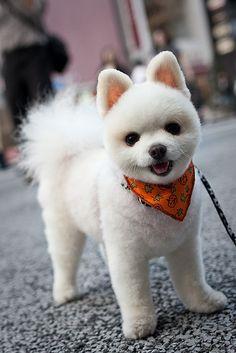 Pomeranian...