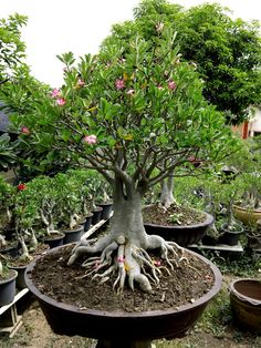 sagrado bonsai, bonsai beauti, desert bonsai, mein schöne, tree garden, rose desert, bonsai collect