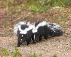 Mammals  | striped skunk