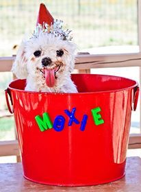 Moxie is a puppy mill survivor and was rescued by National Mill Dog Rescue.  Follow Moxie's facebook page:  https://www.facebook.com/moxienopuppymills