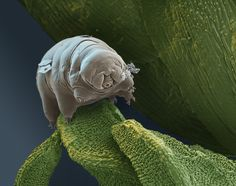 Tardigrades can withstand temperatures from just above absolute zero to well above the boiling point of water, survive pressures greater than any found in the deepest ocean trenches and have lived through the vacuum of outer space. They can survive solar, gamma and ionic radiation at high doses and go without food or water for nearly 10 years, drying out to the point where they are 3% or less water, only to rehydrate, forage and reproduce.