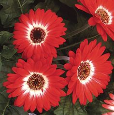 2013: Year of the Gerbera 'Royal Prince Bicolor Red' F1