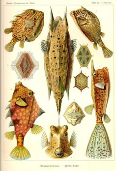 "Boxfish (Ostraciontes) from ""Kunst-Formen der Natur""/""Art forms of Nature"", 1898 by Ernst Haeckel"