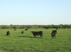 Texas cattle ranch. That's the life!  Grandpa raised Angus cows