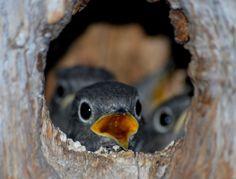 Western Bluebird chicks...where's our Mom?