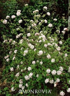 Judd Viburnum - Full sun deciduous shrub - 6-8' tall and wide. Fragrant white flowers blooming the spring