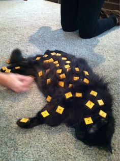 How many cheez-its can you fit on your cat before he wakes up? I think we just found a new game!