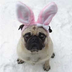 Funny Pug Bunny Happy Easter!