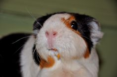 Guinea Pig Eating a Tomato by Randi Deuro, via Flickr