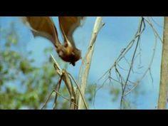 The Fruit Bat - part one - YouTube