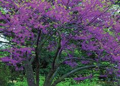 Dig this: fall is perfect for planting trees and shrubs. We love this Eastern Redbud tree with purplish foliage. In spring, its pink-lavender flowers attract butterflies. Live out West? No worries. You can grow a drought tolerant Western Redbud. Click on for more ideas.
