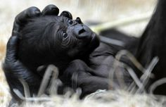 African Mountain Gorilla, baby and mother
