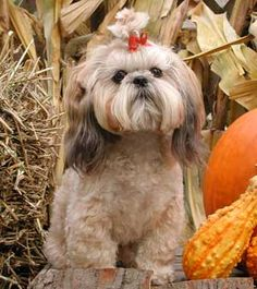 animals, dogs, awww sweet, facials, dog pictures, facial hair, shih tzus, coats, china