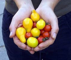 Tips for container tomato gardening.