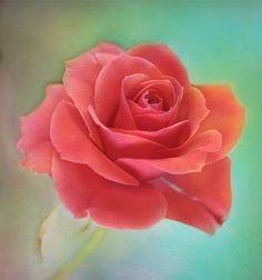 Single Little Rose