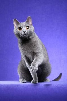 Chartreux cat photos | Chartreux cat Pictures and Info - Cats Breeds