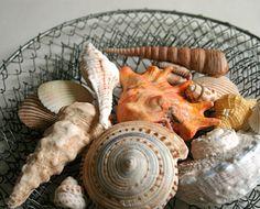 Edible Chocolate Seashells!