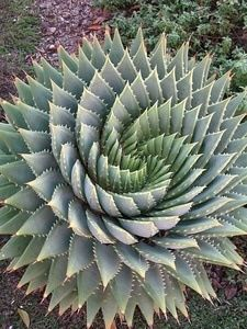 The Fibonacci spiral appears EVERYWHERE in nature! Sunflowers, seashells, pineapples, aloe...