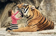 """say """"aaahhh"""" big tiger By Keith Stenhouse"""