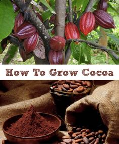 How To Grow Cocoa In
