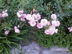 Fairy Rose 5-17-2012