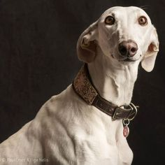 Galgo. Photo by Paul Croes.