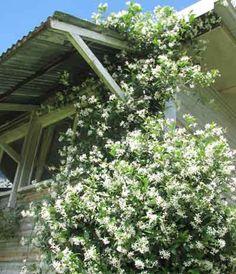 In my garden: Star of Jasmine