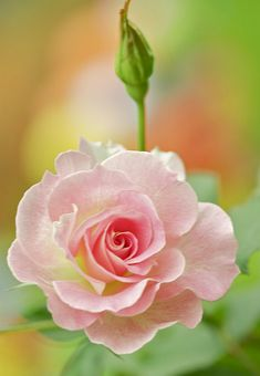 Love is a Flower/ flower pictures, pink flowers, pink roses, soft pink, pale pink, beauty, fondant flowers, flowers garden, rose petals