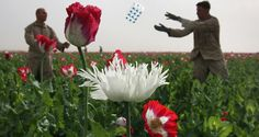 Red and white poppies, white frilly poppy