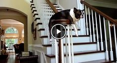 Watch How Bella Loves to Plank in this Beautiful House! ► http://www.bterrier.com/?p=3258 - https://www.facebook.com/bterrierdogs