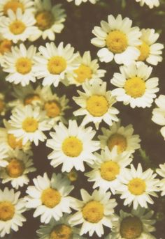 Daisy  #flowers