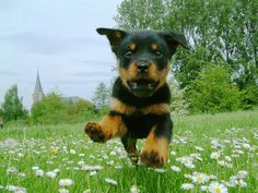 Puppy of rottweiler is flying wallpaper