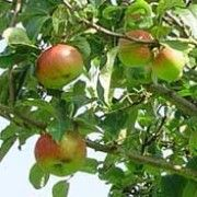 domestica bramley, bramley appl, names, appl tree, plants