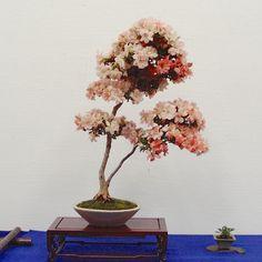 さつき盆栽花季展 / Satsuki azalea bonsai exhibition - here's to now.
