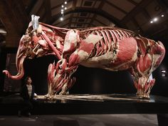 An elephant on display in the Animal Inside Out exhibition, the latest project by the Body Worlds creator Gunther von Hagens  Photograph: Oli Scarff/Getty Images