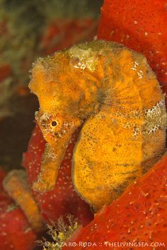 ✯ Longsnout seahorse hides in sponge ~by TheLivingSea.com ✯