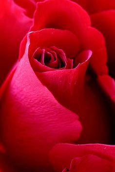 ✯ Red Rose