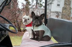My Frenchies on the Farm.