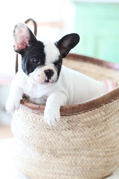 Love me a French Bulldog!