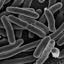 bacterias (bacilos) en un microscopio de 3D